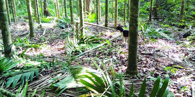 वेर्ले-सांगेत ४०० सुपारी झाडांची कत्तल